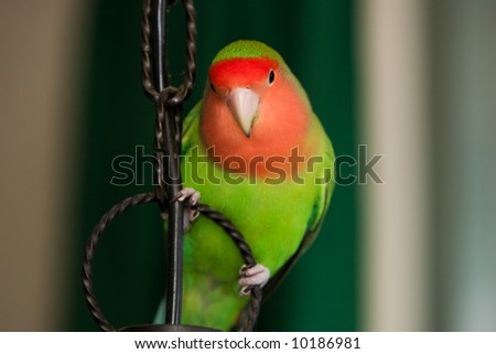 rosy-faced lovebird sitting - stock photo