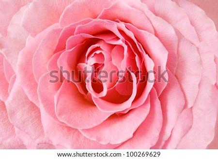 Rosy rose closeup background - stock photo
