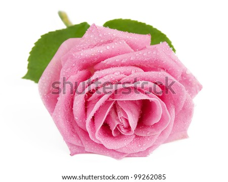 Rosy rose with leaves and water drops closeup isolated on white background - stock photo