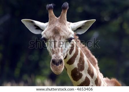 Rothschild Giraffe checking you out - stock photo
