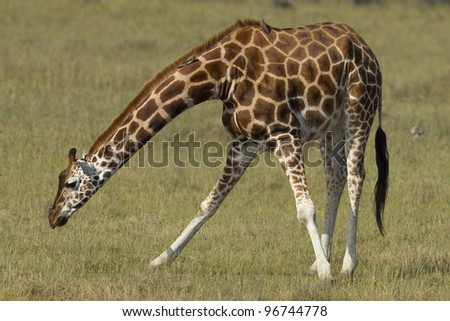 Rothschild Giraffe, (Giraffa camelopardalis rothschildi) bending to eat, Lake Nakuru, Kenya