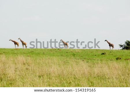 Rothschild giraffes, Murchison Falls National Park (Uganda) - stock photo
