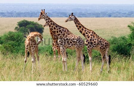 Rothschild giraffes wild Murchison NP, Uganda - stock photo