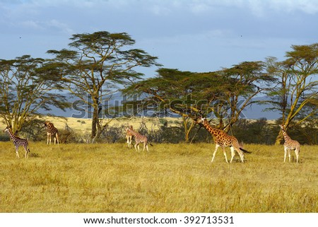 Rotschild giraffes, Lake Nakuru National Park, Kenya - stock photo