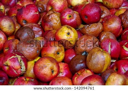 Rotten apples - stock photo