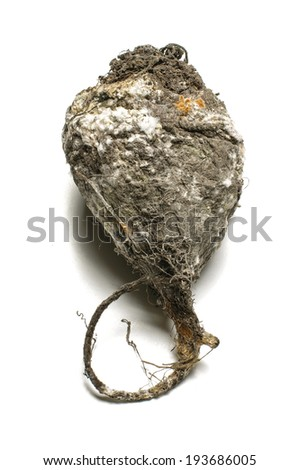 Rotten beet with molds isolated on the white clipping path - stock photo