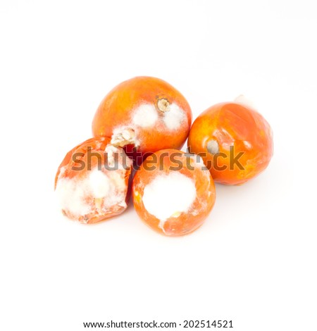 rotten old tomato with mildew isolated on white background