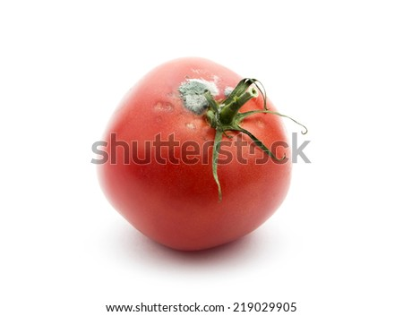 rotten old tomato with mildew isolated on white background - stock photo