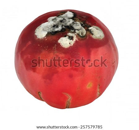 rotten tomatoes with mould - stock photo