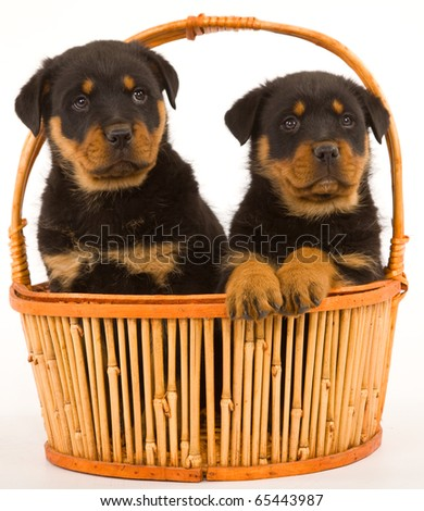 Rottie puppies in basket on white background - stock photo