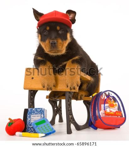 Rottie puppy on school desk wearing hat - stock photo