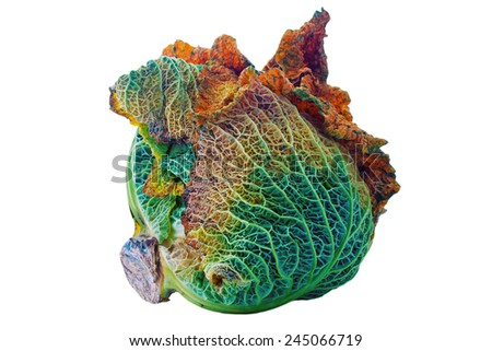 Rotting cabbage on an isolated white background with a clipping path - stock photo