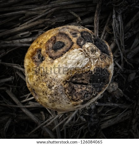 Rotting honeydew on a Compost Heap/Artistically alienated to create a grungy somber atmosphere. - stock photo