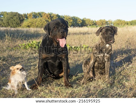 rottweiler, chihuahua and cane corso in the nature