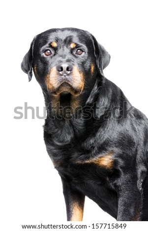 rottweiler dog - stock photo