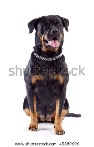 Rottweiler dog in front, isolated on white background, studio shot