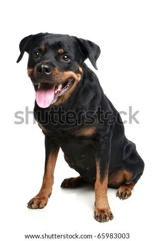 Rottweiler dog sitting on a white background