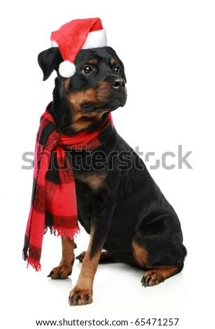 Rottweiler in a red Christmas cap sits on a white background - stock photo
