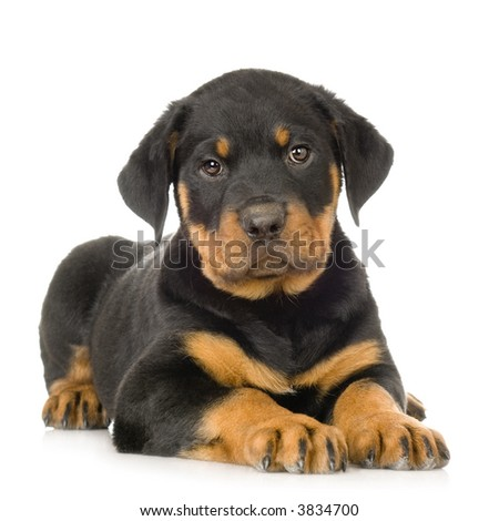 Rottweiler in front of a white background - stock photo