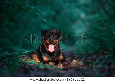 Rottweiler in the woods - stock photo