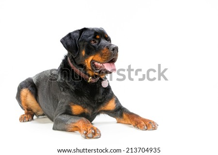 Rottweiler isolated on white