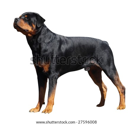 Rottweiler isolated with clipping path - stock photo