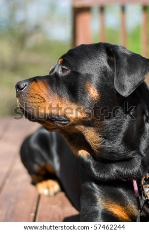 Rottweiler looking to the side - stock photo