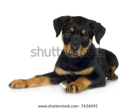 rottweiler (3 months) in front of a white background - stock photo