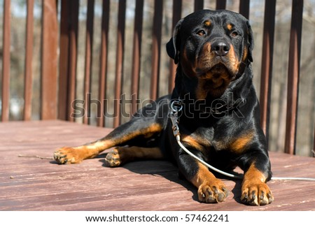 Rottweiler on a porch - stock photo