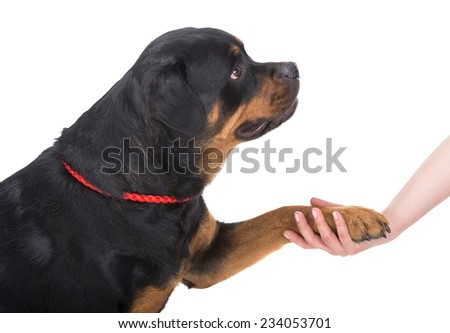 Rottweiler paw and human hand doing handshake. Isolated over white. - stock photo