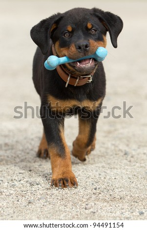 Rottweiler pup holding his play bone - stock photo