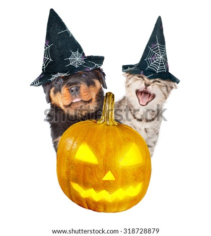 Rottweiler puppy and angry cat peeks out from behind a pumpkin . isolated on white background - stock photo