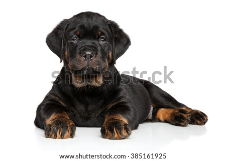 Rottweiler puppy dog lies down on white background - stock photo