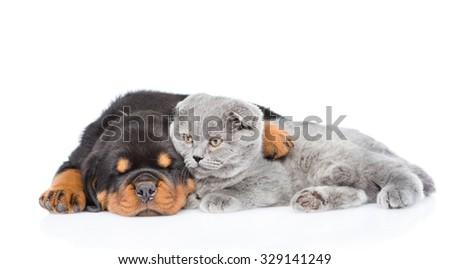 Rottweiler puppy embracing scottish kitten. Isolated on white background - stock photo