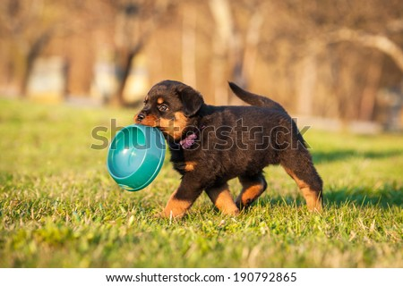Rottweiler puppy holding a bowl in his mouth - stock photo