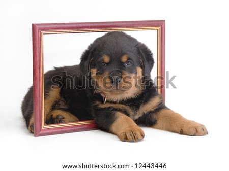 Rottweiler puppy in frame - stock photo