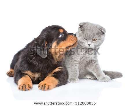 Rottweiler puppy kissing scottish kitten. Isolated on white background