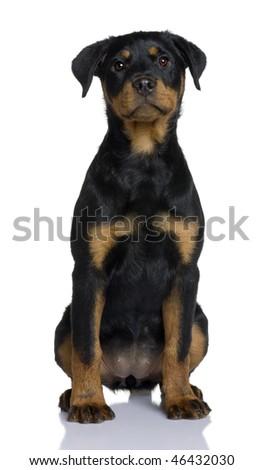 Rottweiler puppies 3 months