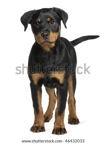 Rottweiler puppy, 3 months old, standing in front of white background