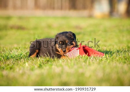 Rottweiler puppy playing with a sneaker - stock photo