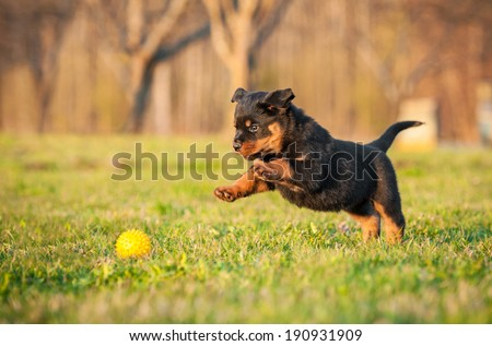 Rottweiler puppy playing with a toy - stock photo