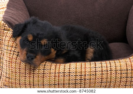 rottweiler puppy resting  on her  bed - stock photo