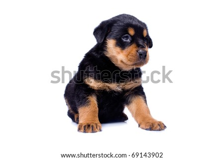 Rottweiler puppy sitting on isolated white background - stock photo