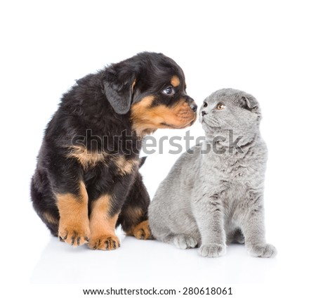 Rottweiler puppy sniffing scottish kitten. Isolated on white background
