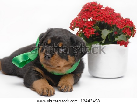 Rottweiler puppy with green bow - stock photo