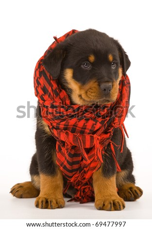 Rottweiler puppy with red scarf - stock photo