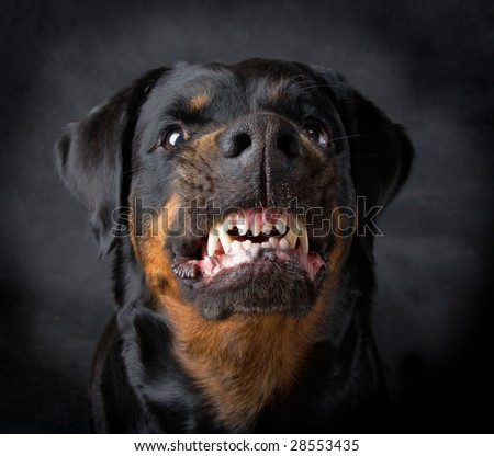 Rottweiler the girl of 6 years on a black background - stock photo