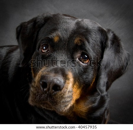 Rottweiler the girl of 7 years on a black background - stock photo
