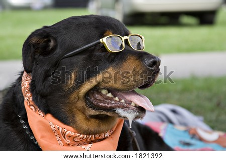 Rottweiler wearing a neck scarf and sunglasses enjoys summer afternoon in park. - stock photo