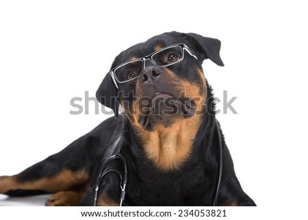Rottweiler with stethoscope around neck and glasses isolated on white background. - stock photo